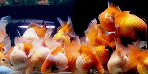 親魚の選定