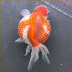 VIP金魚1