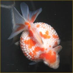 VIP金魚2