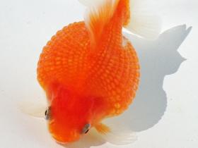 2014年 第44回静岡県金魚品評大会