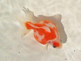 2015年 第22回金魚日本一大会