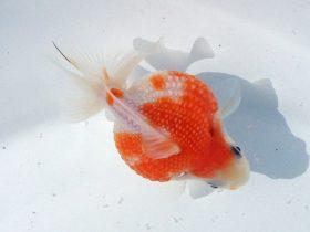 2015年 第45回静岡県金魚品評大会