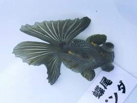 2016年 第46回静岡県金魚品評大会