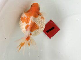 2019年 第26回金魚日本一大会